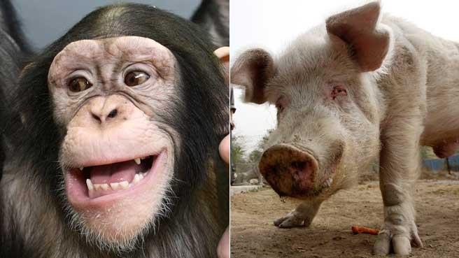 фото свинья доктор