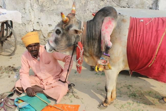 """Бык с пятой ногой """"помогает"""" индийским женщинам родить мальчиков (3 фото)"""