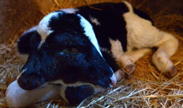 В Марокко родился двухголовый теленок (5 фото)