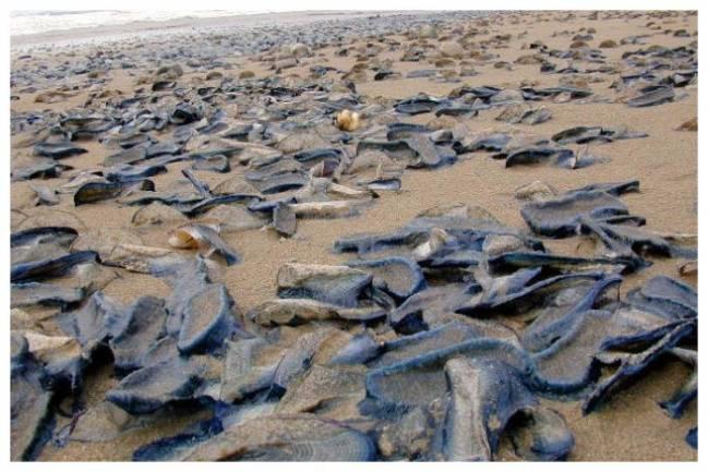 Миллионы медузоподобных существ выбросило на берег в Калифорнии