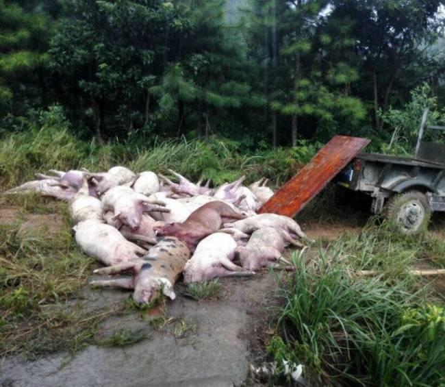 В Китае шаровая молния убила сотни свиней (2 фото)