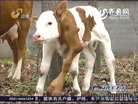 В Китае родился шестиногий теленок (3 фото + 1 видео)