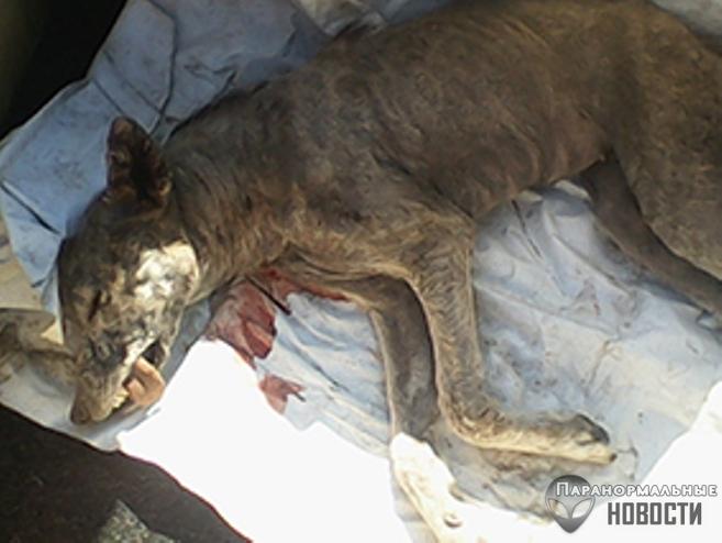 В Бурятском округе убили собакоподобное существо, нападающее на овец