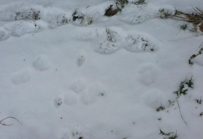 Чупакабра в Свердловской области задушила и сложила в ряд кроликов