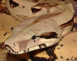 У змей нашли странное непорочное зачатие