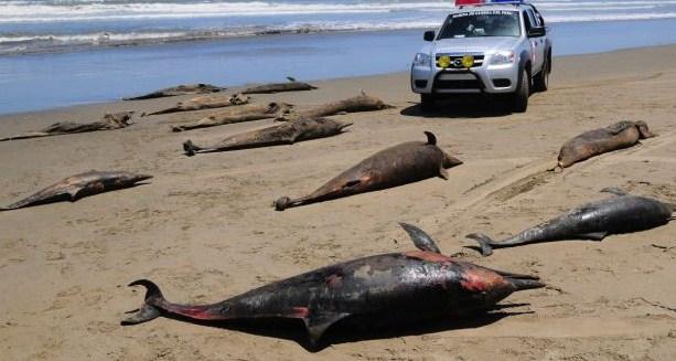 В Перу массовая гибель пеликанов, там же где погибли дельфины (2 фото)
