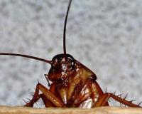 В Нью-Йорке нашли неизвестный вид тараканов