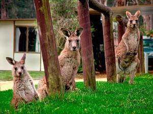 В Японии завелись кенгуру