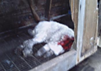 Странный зверь из Котовска душит кур и откусывает головы кроликам