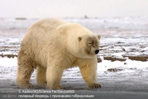 Белые медведи скрещиваются с бурыми