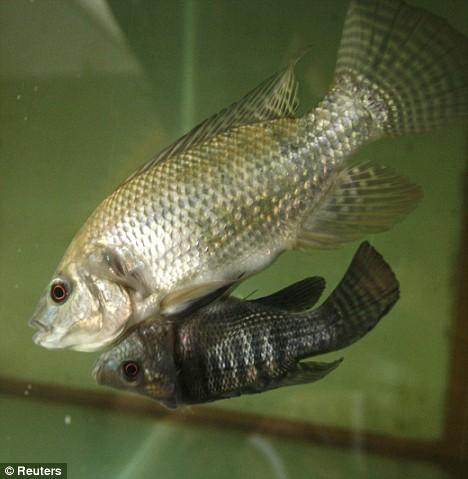 Оказывается у рыб тоже встречается